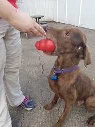 Dog playing with kong ball