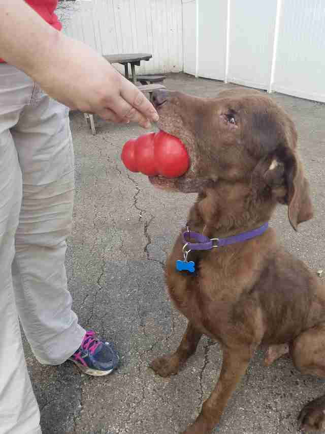 Dog playing with kong ball