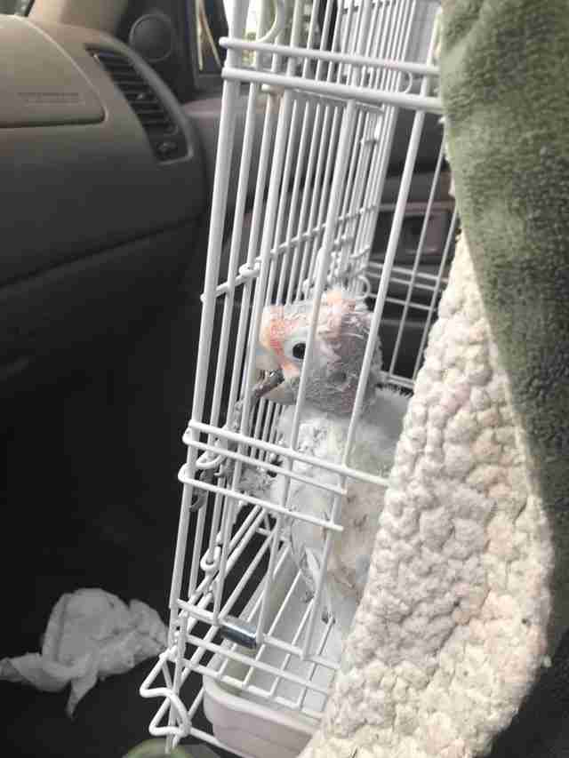Bird in cage in car to visit her friend in the hospital