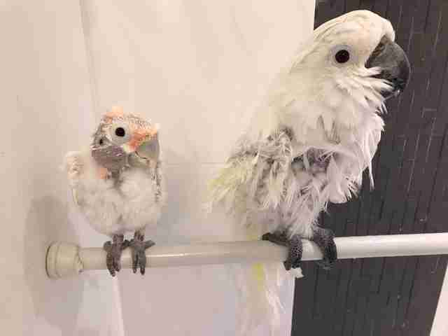 Rescued cockatoo friends