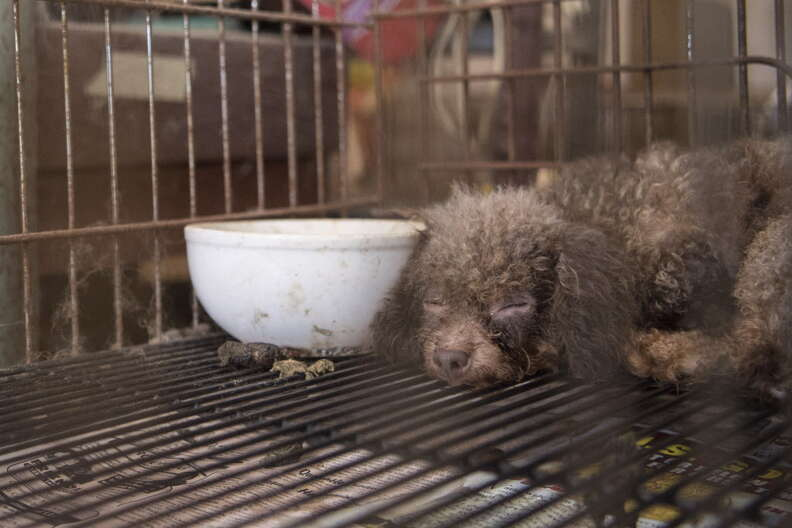 Dog trapped in cage at puppy mill