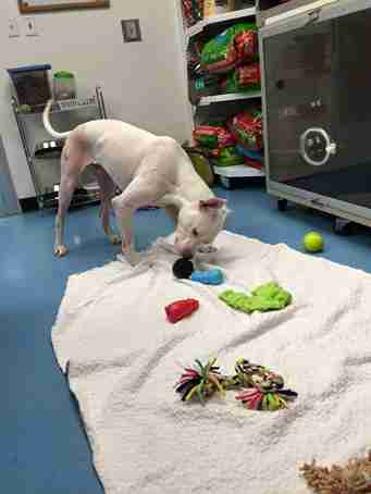 dog playing with toys in vet's office