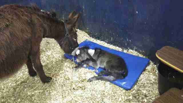 Mother donkey and newborn
