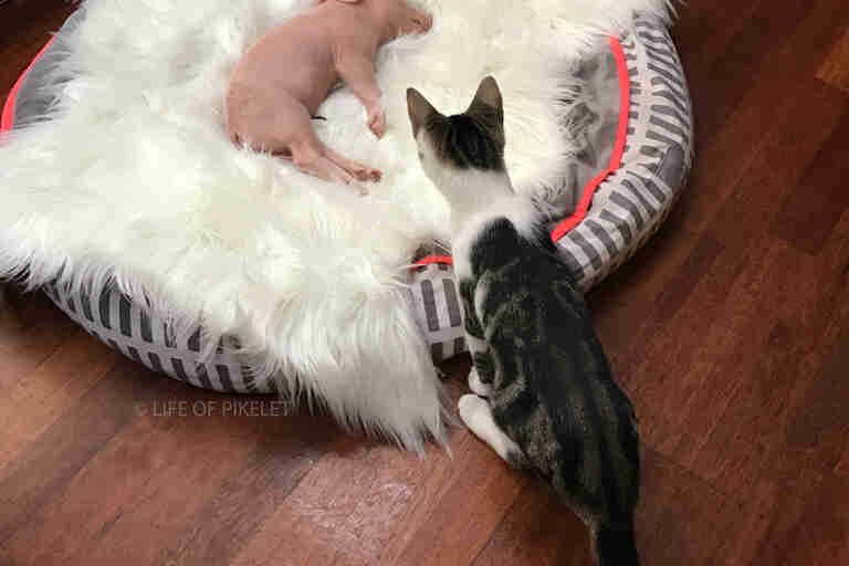 piglet puppies and kittens are growing up together