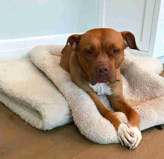 Rescued pit bull sleeping on dog beds