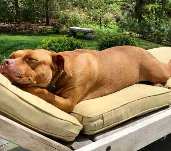 Rescued pit bull sleeping on outdoor furniture