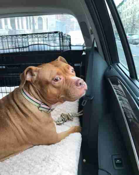 Rescued pit bull in car
