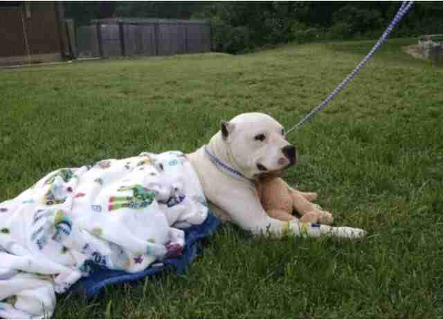 Rescue dog with blanket and teddy bear