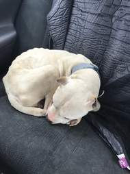 Rescue pit bull in car