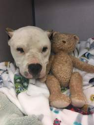 Rescue dog with teddy bear
