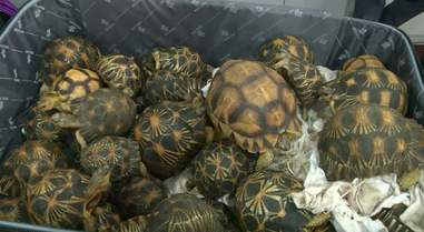 Suitcase full of smuggled tortoises