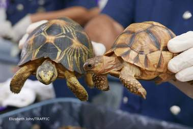 Smuggled tortoises