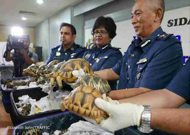 Smuggled tortoises in suitcases