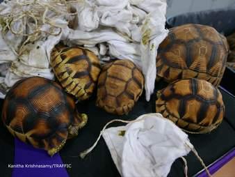 Smuggle tortoises
