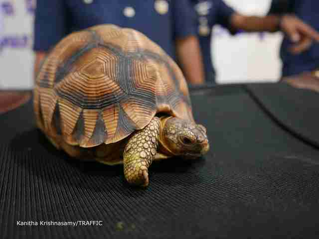 Illegally smuggled tortoise