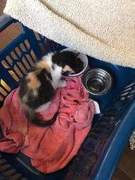 Tiny kitten being given away in Kingston, Ontario