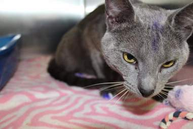 Rescued cat with purple smudge on head
