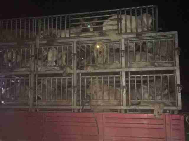 Truck with hundreds of dogs for Northeast China's dog meat market stopped by the Chinese activists