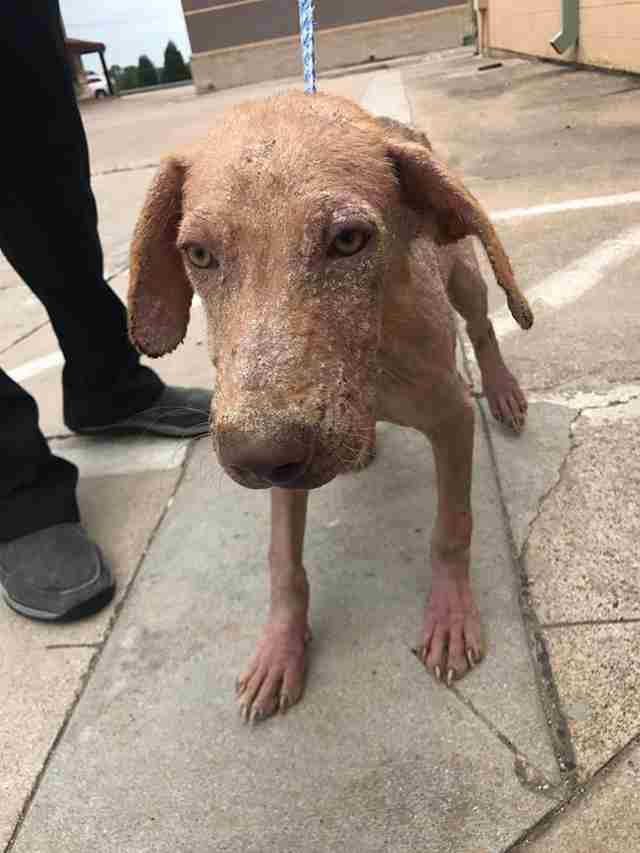 Dog recovering from mange