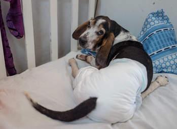 Dog in diaper