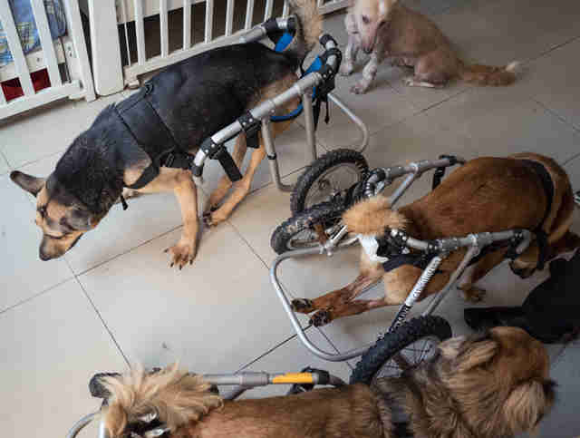 Dogs in wheelchairs