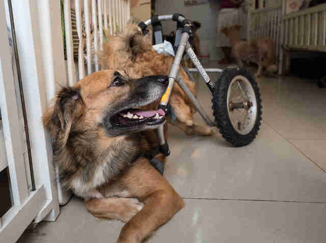 Smiling dog in wheelchair