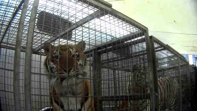 Circus tiger in small transport cage