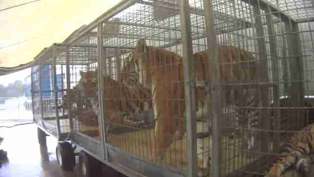 circus tigers kept in small crates