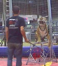circus tiger being trained