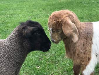 Blind rescued goat meets blind lamb at sanctuary