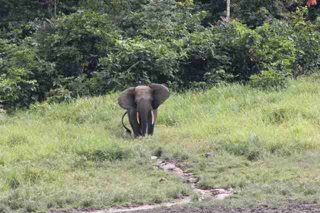Gabon forest elephant