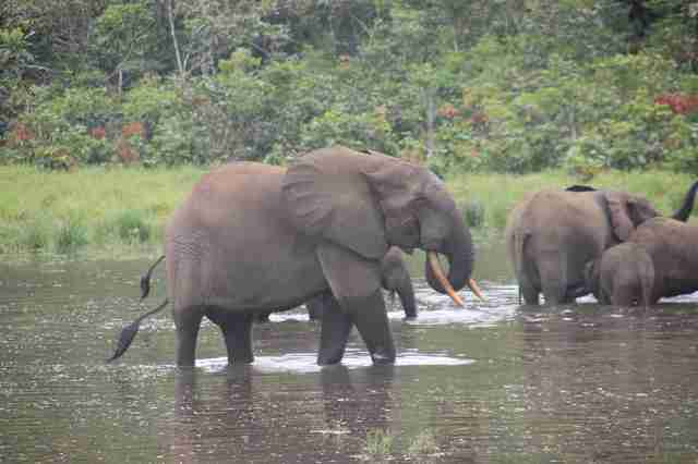 Gabon forest elephants