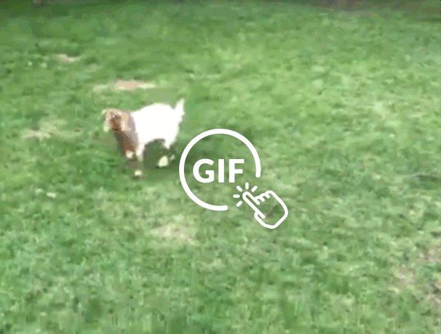blind rescued goat bouncing