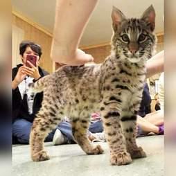 Cat cub at roadside zoo