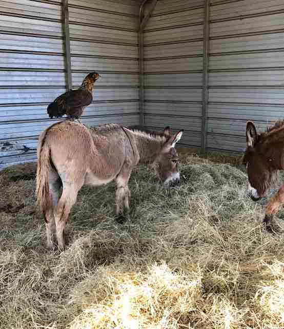 Chicken hangs out with donkeys at sanctuary