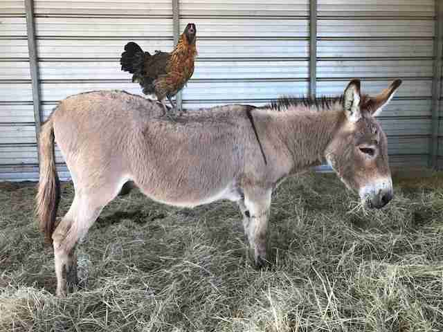 Chicken rescued after wandering into Petco stands on donkey