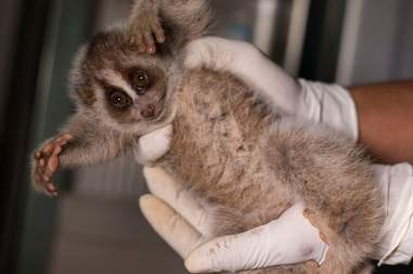 Rescue slow loris
