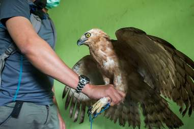 Rescued eagle with legs tied together