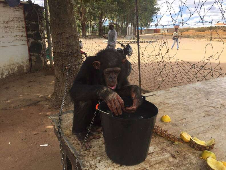 Chained chimp eating a bucket of food
