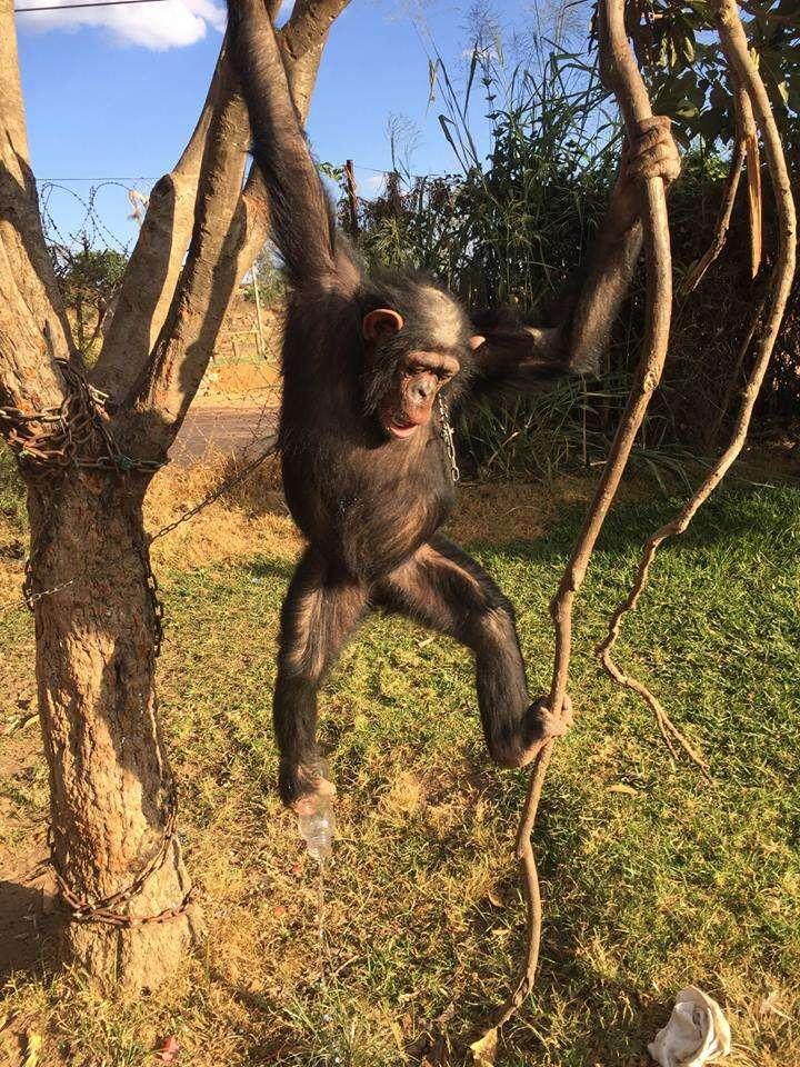 Captive chimp in tree