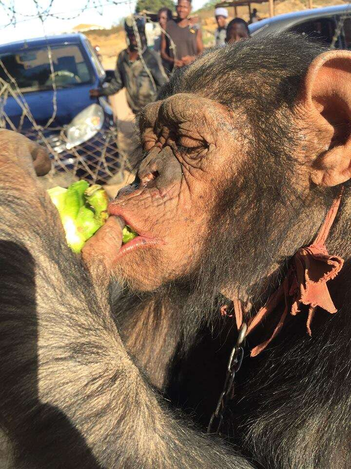 Chained chimp eating