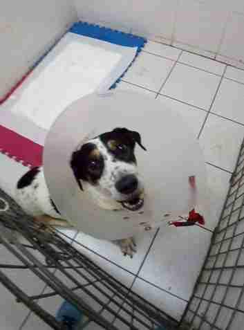Dog after surgery