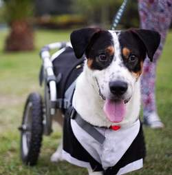 Disabled dog in wheelchair