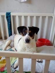 Paralyzed dog in crib at shelter