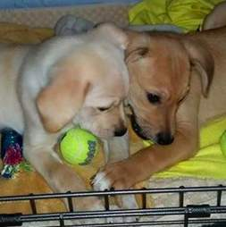 Dog siblings playing together