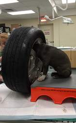 Puppy with head stuck in tire