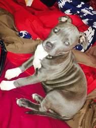 Pit bull mix puppy