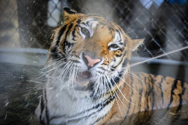 Sick tiger cub gets rescued from circus, makes incredible recovery ...