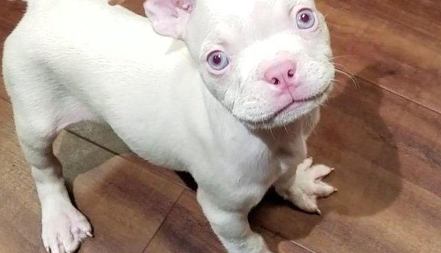 Petland Is Selling This Albino Puppy For $5,500 - The Dodo