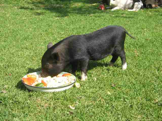 Baby potbelly pig eating